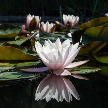 Photo pour Fleur de Lys réfléchissant de l'eau blanche - image libre de droit