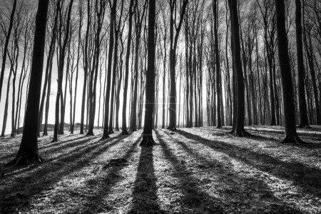 Photo pour Ombre des grands arbres dans une forêt d'hiver - image libre de droit