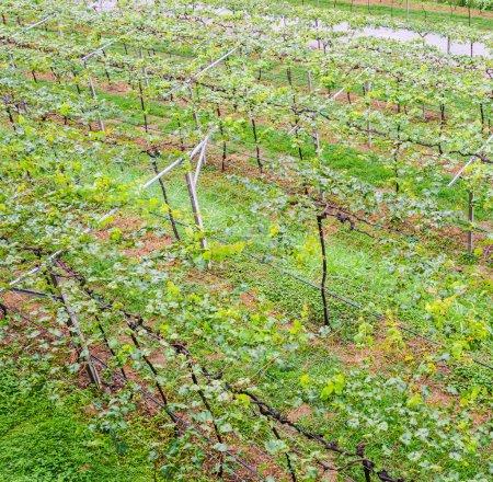 vallée de raisin