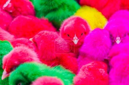 Color chicks