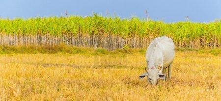Cow on field