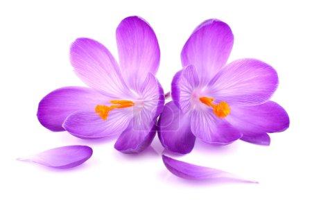 Photo pour Une paire de crocus fleurs sur fond blanc isolé - image libre de droit