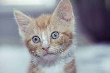 Photo for Portrait of a little red haired kitten - Royalty Free Image