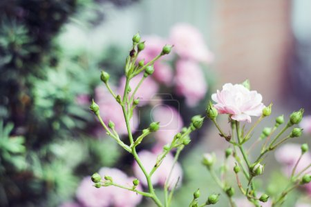 Photo for A nice nature shot of pink roses in a pretty garden. - Royalty Free Image
