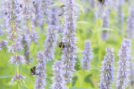 Photo for Lila spring flowers with bees feeding on nectar. - Royalty Free Image