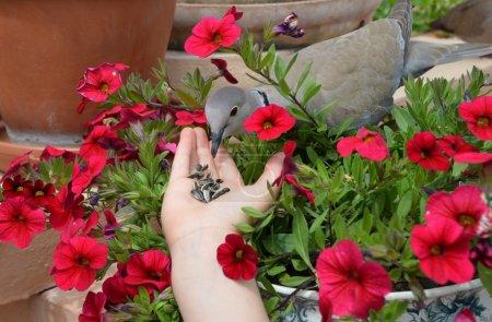 Photo pour Une petite tourterelle au milieu des fleurs - image libre de droit
