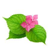 Růžový květ s zelený list hortenzie květů