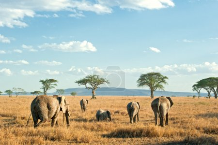 Herd of Elephants in the dry plains of Serengeti, Tanzania
