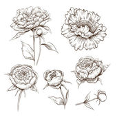 Hand drawn peony flowers vector set