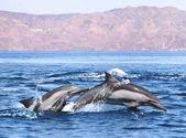 Dupla delfin