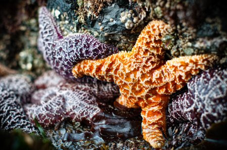 For purple and one orange starfish