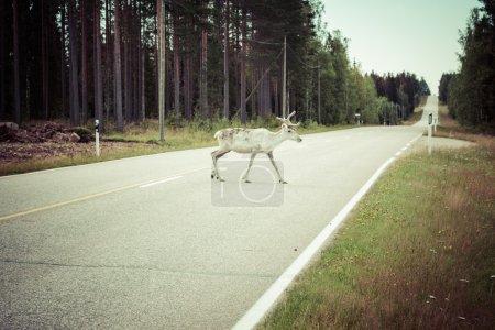 Photo pour Cerf de renne ramure exceptionnellement longue - image libre de droit