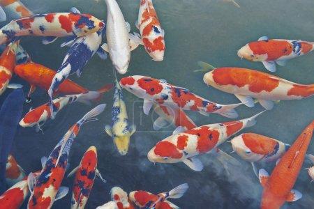 Koi Carps Fish Japanese swimming (Cyprinus carpio)