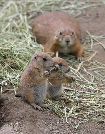 Two adorable black tailed prairie dog puppies eating grass