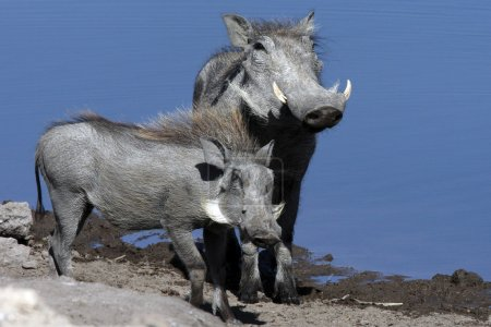 Warthogs (Phacochoerus aethiopicus) at a waterhole...