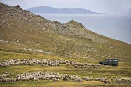 Sheep Farming - Carcass Island - Falkland Islands