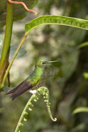 Buff-tailed Hummingbird (Boissoneaua flavescens) i...
