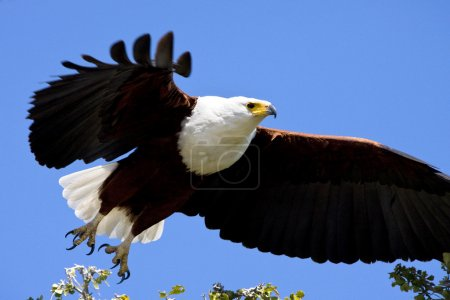 African Fish Eagle - Botswana