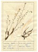 Beolvasott herbáriumi lapok - gyógynövények és virágok