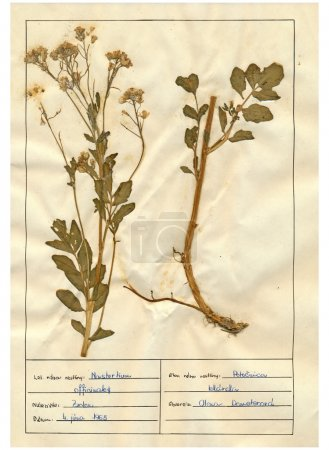 Scanned herbarium sheets - herbs and flowers