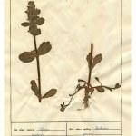 Постер, плакат: scanned herbarium sheets herbs and flowers