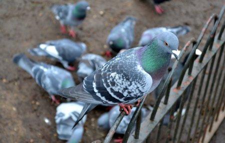 Photo pour Pigeon sauvage dans un parc - image libre de droit