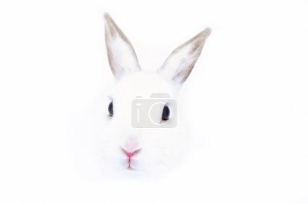 Photo for White Rabbit Close up - Royalty Free Image