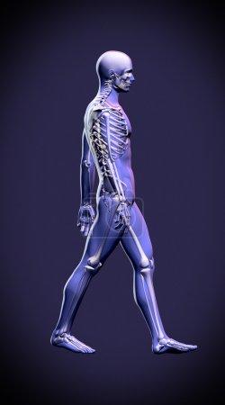 Walking man - anatomy skeleton study concept