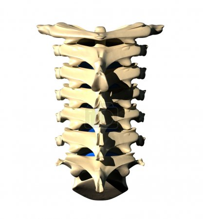 Cervical Spine - Posterior view Back view