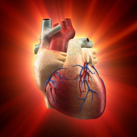 Photo pour Véritable cœur brille à la lumière - modèle de l'anatomie humaine - image libre de droit