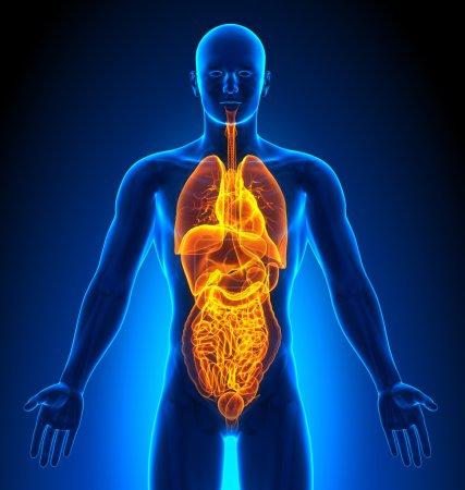 Photo pour Imagerie médicale - Organes masculins - image libre de droit