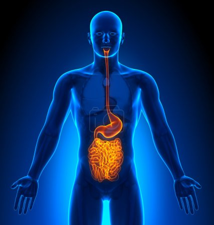 Photo pour Imagerie médicale - Organes masculins - intestins - image libre de droit