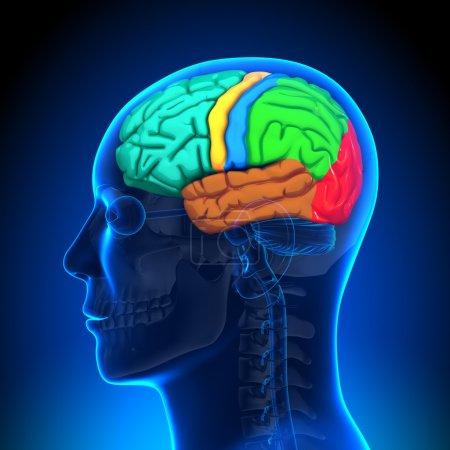 Anatomie du cerveau - couleur