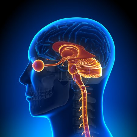 Brain Anatomy - Internal parts...
