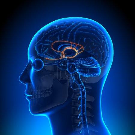 Brain Anatomy - Limbic System...