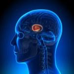 Brain Anatomy - Basal Ganglia...