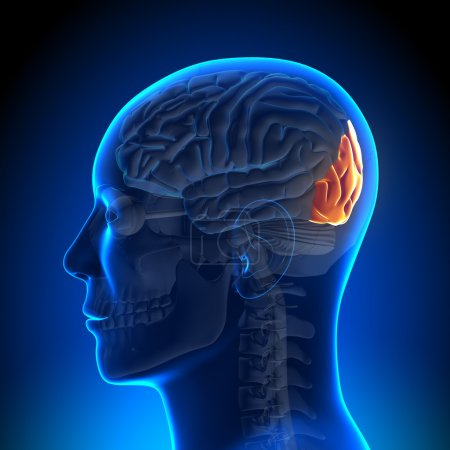 Brain Anatomy - Occipital lobe