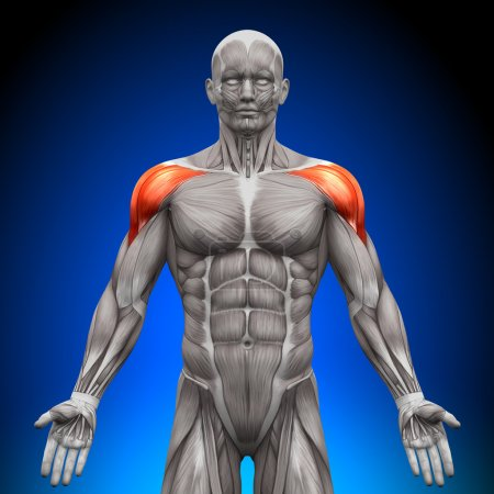 Photo for Shoulders Deltoid - Anatomy Muscles - Royalty Free Image