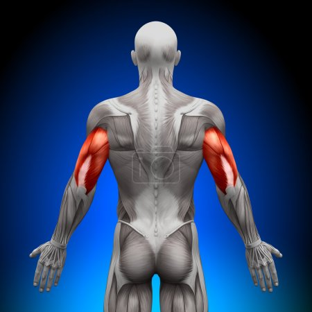 Photo for Triceps - Anatomy Muscles - Royalty Free Image