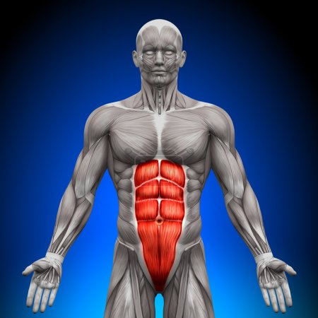 Photo for Abs - Anatomy Muscles - Royalty Free Image