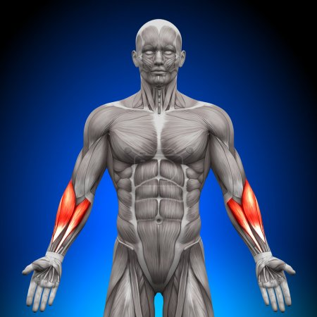 Photo for Forearms - Anatomy Muscles - Royalty Free Image