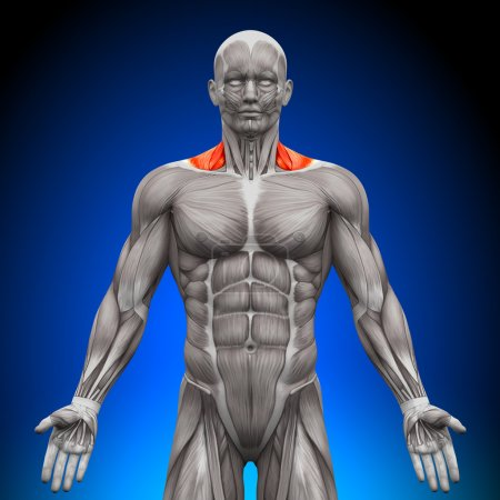 Trapezius Front Neck Muscles - Anatomy Muscles