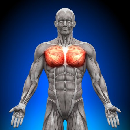 Photo for Chest Pectoralis Major Pectoralis Minor - Anatomy Muscles - Royalty Free Image