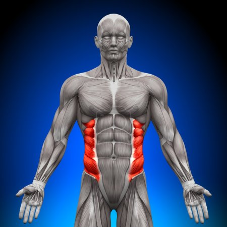 Photo for External Oblique - Anatomy Muscles - Royalty Free Image