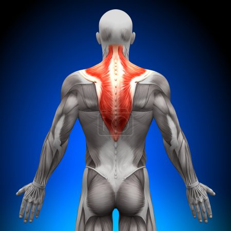 Photo for Trapezius - Anatomy Muscles - Royalty Free Image