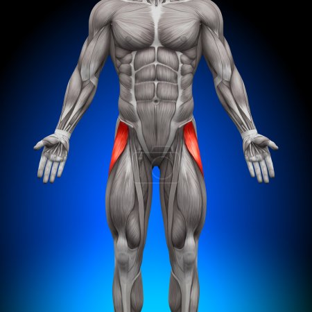 Tensor Fasciae Latea - Anatomy Muscles