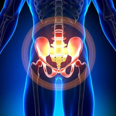 Photo for Hip Sacrum Pubis Ischium Ilium - Anatomy Bones - Royalty Free Image
