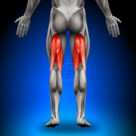 Photo for Hamstrings - Anatomy Muscles - Royalty Free Image