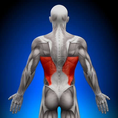 Photo for Latissimus Dorsi - Anatomy Muscles - Royalty Free Image