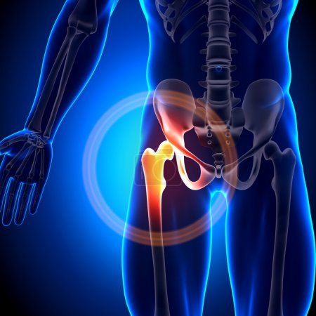Photo for Hip Joint - Anatomy Bones - Royalty Free Image